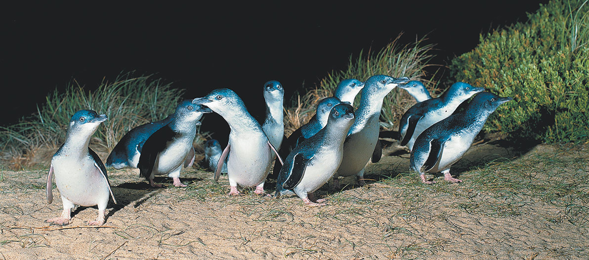 Little Penguins returning to their burrows
