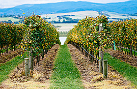 yarra valley vineyard lines